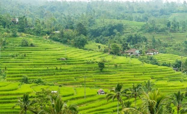 rice field, Bali Indonesia